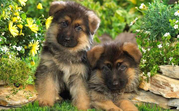 German Shepherd Puppies In St Louis